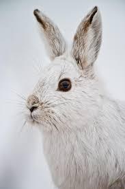 beautiful-wildlife: \u201c Snowshoe Hare by Michael Cummings \u201d   Cool ...