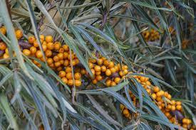 Betel Nut Areca CatechuPalm Tree Orange Fruit