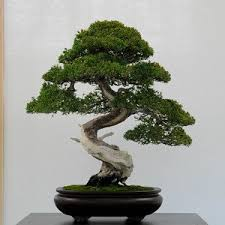 office bonsai tree. Simple Office 50 Juniper Bonsai Tree Potted Flowers Office Purify The Air Absorb  Harmful Gases Seeds Intended Office Bonsai Tree I
