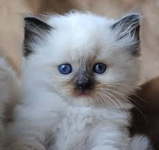 Small Picture 64 best My Ragdoll Obsession images on Pinterest Kitty cats