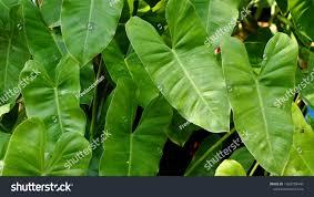 Background Leaves Texture Golden Pothos Devils Stock Photo (Edit Now)  1368708449