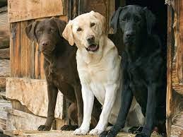 dogs, Labrador Retriever :: Wallpapers