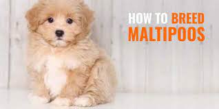 how to breed maltipoos health
