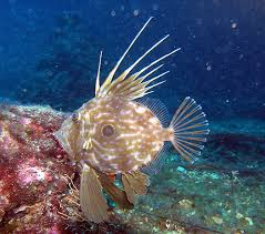 Dory Fish - John Dory Culinary Profile - Chefs Resources