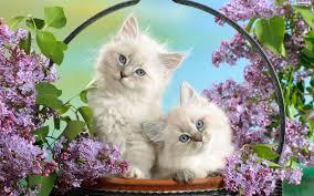 beautiful white cats wallpaper. Beautiful Wallpaper White Cat Wallpaper Download  Inside Beautiful Cats Wallpaper I