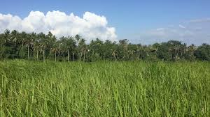 tall green grass field. Long Tall Green Grass Blowing In The Wind A Field With Palm Trees, Blue Sky And White Fluffy Clouds On Tropical Island, Like Bali Stock Video Footage - I
