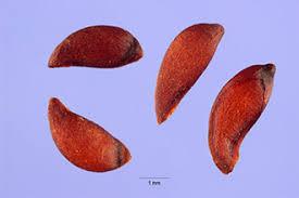 Plants Profile for Sorbus aucuparia (European mountain ash)