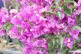 bougainvillea plant care how to grow and prune this flower