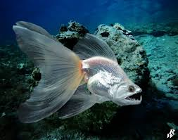 fantail fish. Delighful Fantail Fantail Fish By Dwarf4r  To Fish H