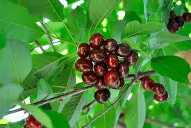 Evans Cherry  WikipediaWhen Do Cherry Trees Bear Fruit