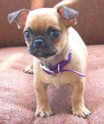 teacup pug full grown. Plain Pug Miniature Pugs Info And Teacup Pug Full Grown U