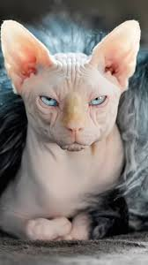 angry hairless cat. Unique Angry Angry White Sphynx Cat Face Pic And Hairless