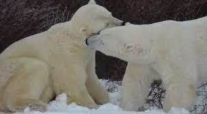 grolar bear size polar bear blog new ideas for studying bears polar bear alley
