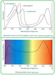 Action Spectrum 101 Photosynthetic Pigments Biology Notes For A Level