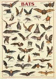 Bat Species Chart Bats Chiroptera Animal Education Poster 27x39 Animals Bat