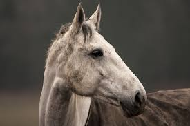 Equine Melanoma Types And Treatments Veterinary Practice News