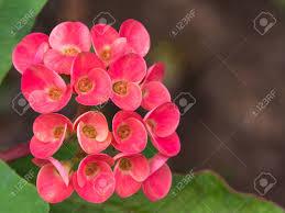 red jasmine flowers blooming in the garden stock photo 70157149