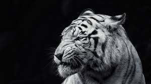8 4 1366x768 88219 tiger gl shards preview wallpaper tiger face eyes black and white