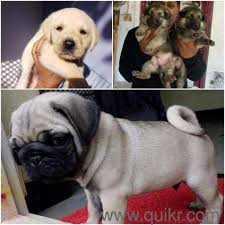 pug doberman puppies for