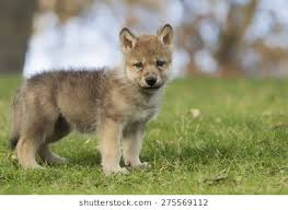 baby wolf. Modren Wolf Profile Image Of A Young Grey Wolf Pup Standing On Hillside Throughout Baby Wolf