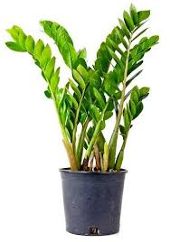 Image Desk Detail Grow Care Buy Above Plant u003eu003e Browse All Indoor Plants u003eu003e Avril Paradise Love Plants But No Sunlight These Plants Can Be Your Best Buddy