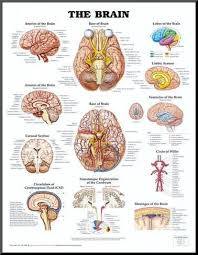 Anatomical Chart Posters The Brain Anatomical Chart Poster Print Mounted Print
