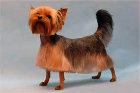 yorkshire terrier haircuts. Modren Yorkshire Yorkie Haircuts Photos On Yorkshire Terrier Haircuts V