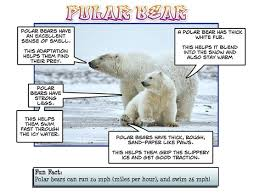 similiar blubber polar diagram keywords polar bear blubber diagram arcade com online image arcade