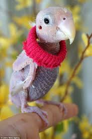 featherless parrot. Perfect Featherless U0027I Am Just Thankful To Every Person Who Has Put Their Time And Effort Into For Featherless Parrot G