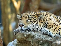 baby jaguar wallpaper.  Jaguar Cute Baby Jaguar Throughout Wallpaper T