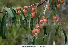 The Wild Olive Branch Grafted Into The Cultivated Tree Of Israel Wild Olive Tree Fruit