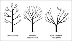 An Introduction To Pruning Apple Trees  A Handy GuideFruit Tree Shapes
