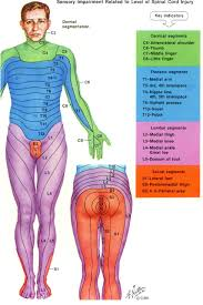 Spinal Dermatomes Chart Www Health Gossip Com Really Very Helpful Image For Physical