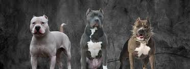Pitbull Color Chart Color Chart Apbt Saa American Pit Bull Terrier Association