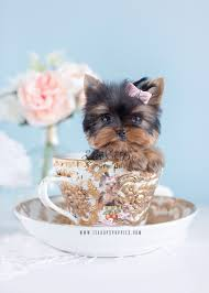 micro teacup yorkie puppies for sale. Exellent For Teacup Yorkies For Sale In South Florida By Puppies And Boutique Intended Micro Yorkie E