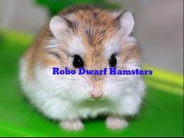 petsmart hamsters. Beautiful Petsmart We Went To Buy A Fish At PetSmart And Came Out With 2 Robo Dwarf Hamsters And Petsmart Hamsters