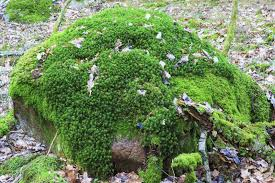 Different Types Of Moss \u2013 Learn About Moss Varieties For The Garden
