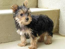physical traits group yorkshire terriers fall under the toy