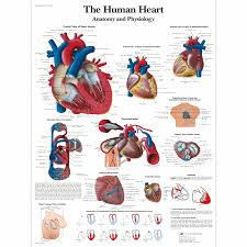 Anatomy Of The Heart Chart The Human Heart Chart Anatomy And Physiology