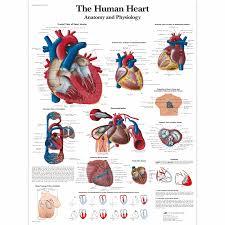 Sinus Chart The Human Heart Chart Anatomy And Physiology