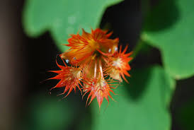 this plant has long stems and round circle leaves with orange flowers many varieties diffe colors which craw along the ground like a pumpkin if the