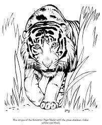 Drawing Pages Animal Drawings Coloring Pages Sumatran Tiger Animal
