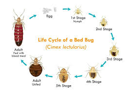 Naturally Get Rid of Bed Bugs How To Kill A Bedbug Infestation