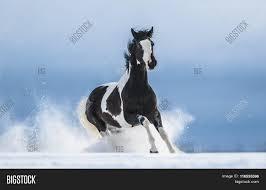 paint horses running in a field. Modren Paint American Paint Horse Running Gallop Across A Winter Snowy Field Inside Horses Running In A Field S
