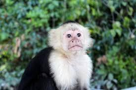 real jungle animals monkeys. Beautiful Animals Monkey Jungle Animal Mammal Wildlife Brown Intended Real Jungle Animals Monkeys H