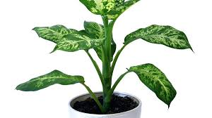 good houseplants for low light dumb cane best houseplants for low light bathroom