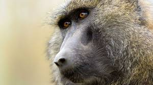 animal minds the economist the peaceful baboons