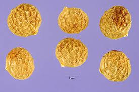 Plants Profile for Neslia paniculata (ballmustard)