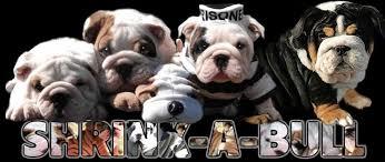 shrinkabull s english bulldog puppies english bulldog puppies