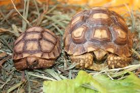 Russian Tortoise Age Size Chart One Month Old And 1 Year Old Sulcata Tortoises What A